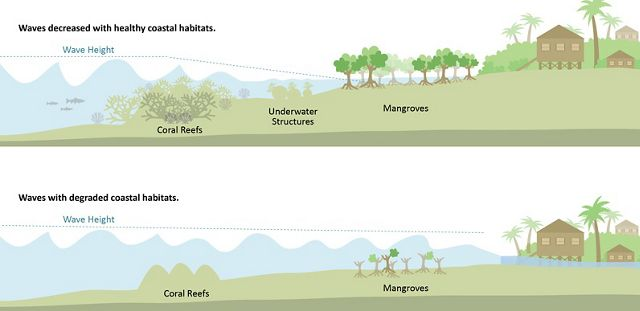 Infographic demonstrating how coral reefs and mangroves protect shorelines against flooding.