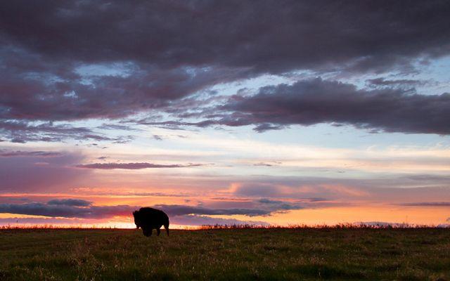 bison silhouette at sundown