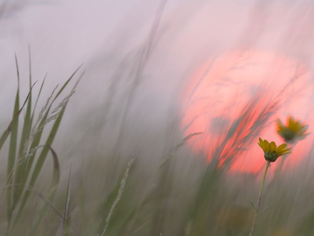 Prairie flowers and grasses against a pink sky.