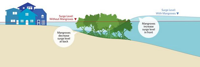 Demonstration of the benefits of mangroves to reduce coastal flooding.