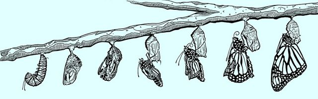 Starting on the left with a caterpillar, each stage of the monarch life cycle is drawn hanging from a single branch. On the far right, the butterfly has fully emerged from the chrysalis.