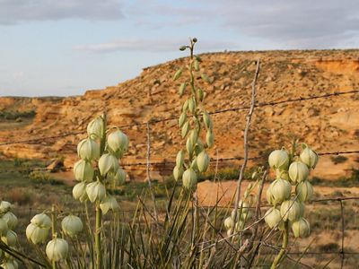 Yucca pods rise in front of an orange chalk bluff