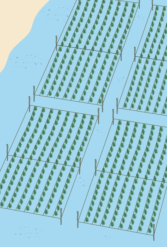 a graphic representation of seaweed farming in shallow water
