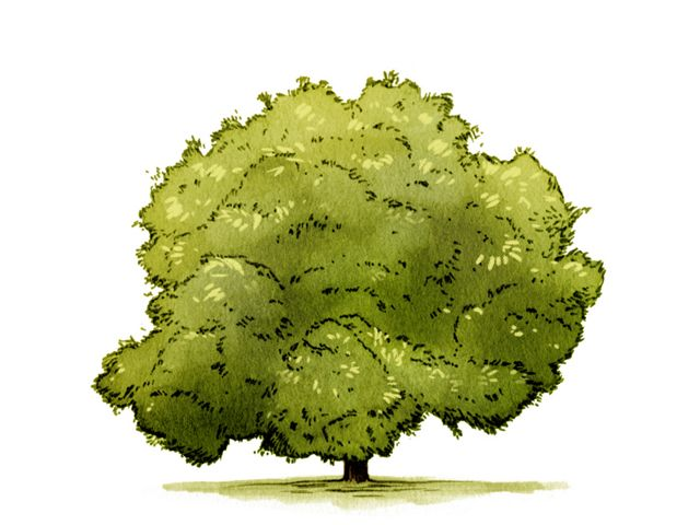 illustration of a large bushy green tree