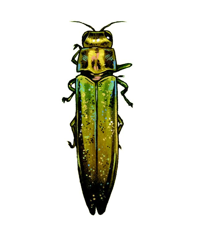 colorful illustration. Beetle is iridescent green and yellow with a long thing body