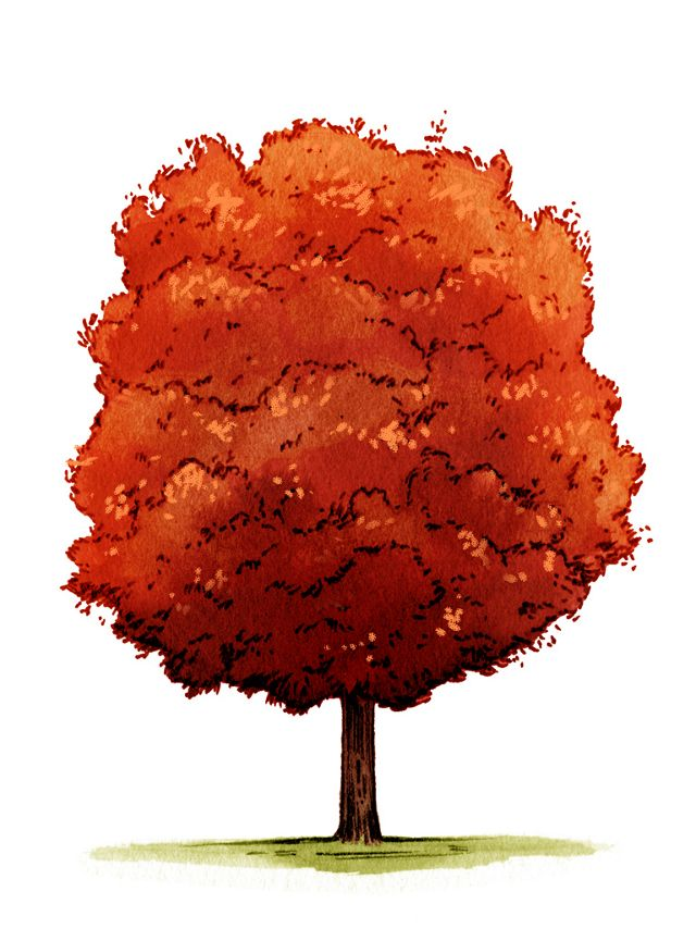 illustration of a tall, slender red-leafed tree