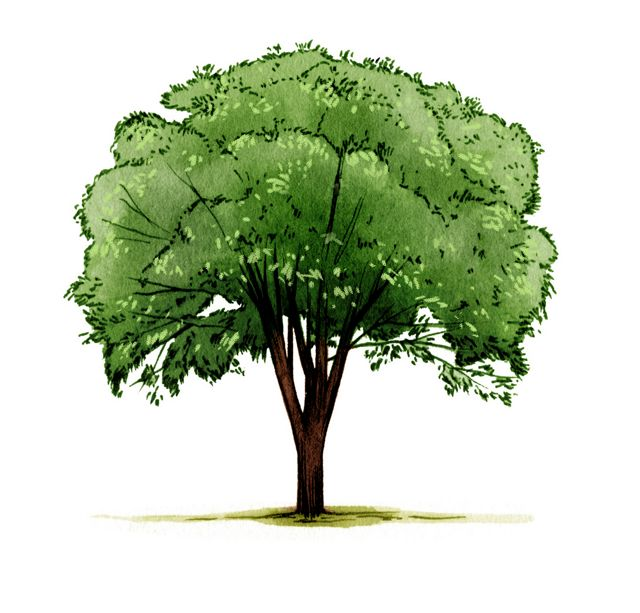 illustration of a tall, green-leafed tree with high arching branches