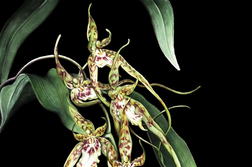 An illustration of a spider orchid.