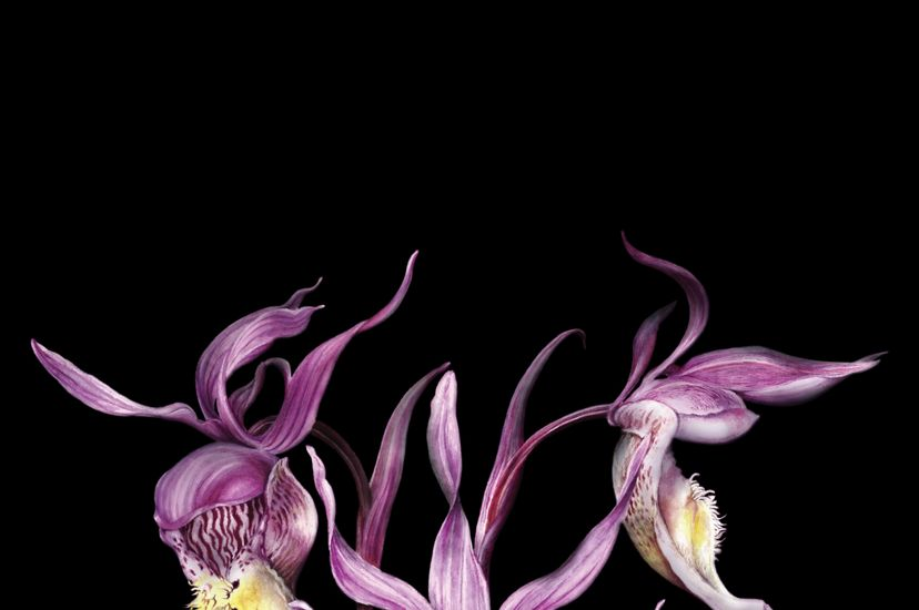 An illustration of a fairy slipper orchid.