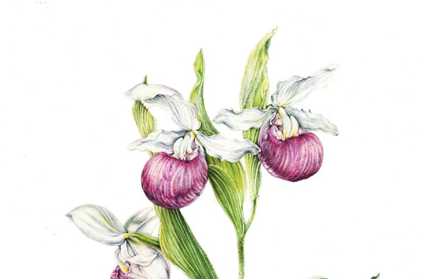 An illustration of a showy lady's slipper.