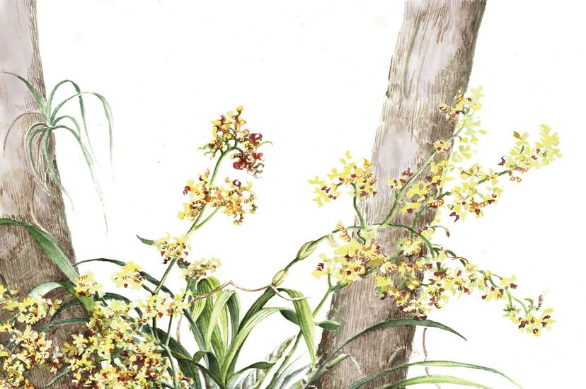 An illustration of a bee swarm orchid