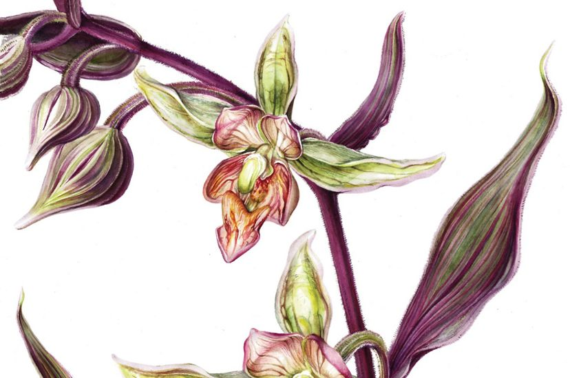 Color illustration of Stream Orchid.