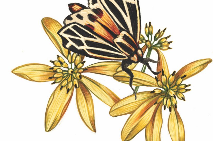 A color illustration of a moth and yellow flowers