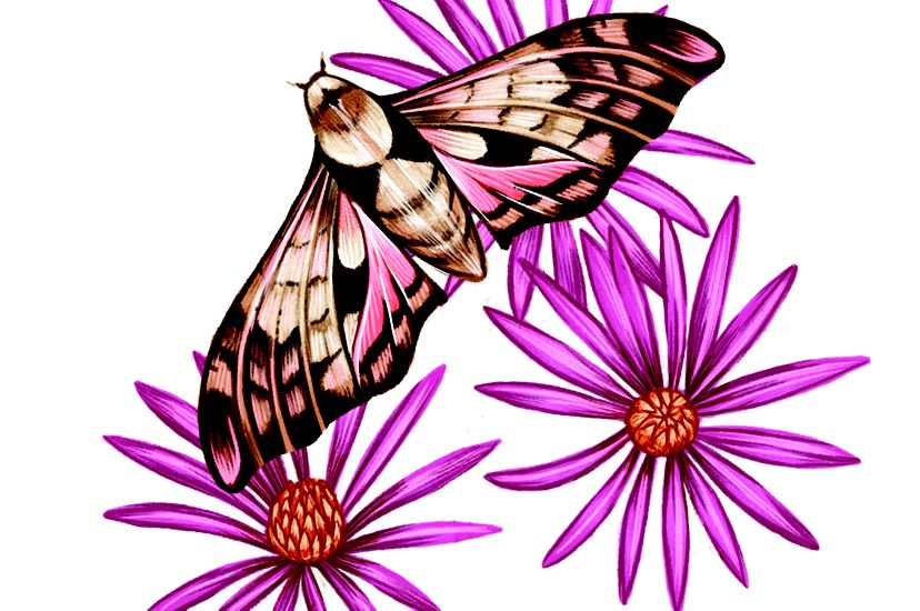 A color illustration of a moth and purple flowers