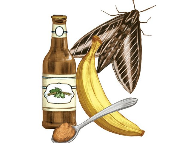 moth banana bottle of beer and spoonful of brown sugar for moth friendly paste