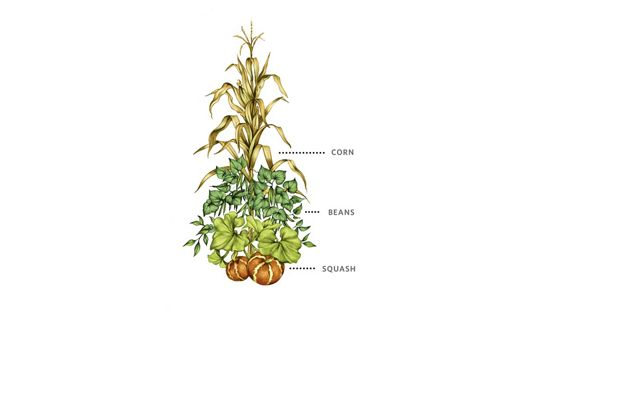 A color illustrations shows corn planted with beans and squash