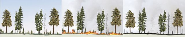 An illustrated sequence showing how fire in a managed forest burns low and preserves a healthy forest structure.