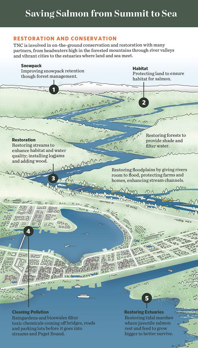 Graphic showing how restoration efforts throughout the watershed can help salmon.