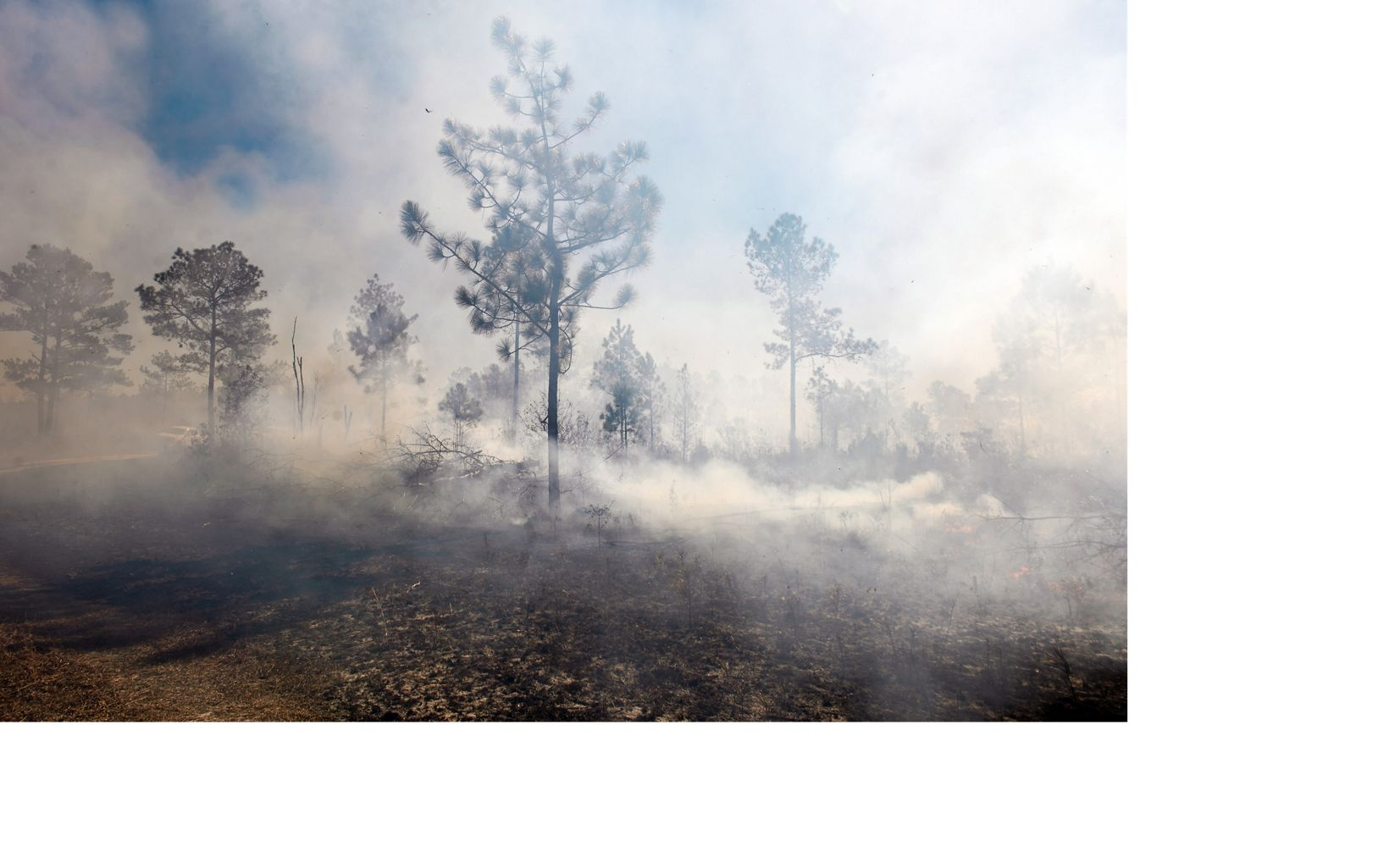 A longleaf pine tree emerging from the smoke of a controlled burn in North Carolina's Green Swamp.