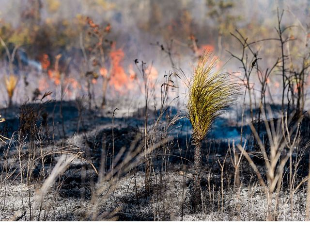 Young longleaf pine trees depend on fire to knock back competing plants, allowing them the space and sunlight they need to grow.