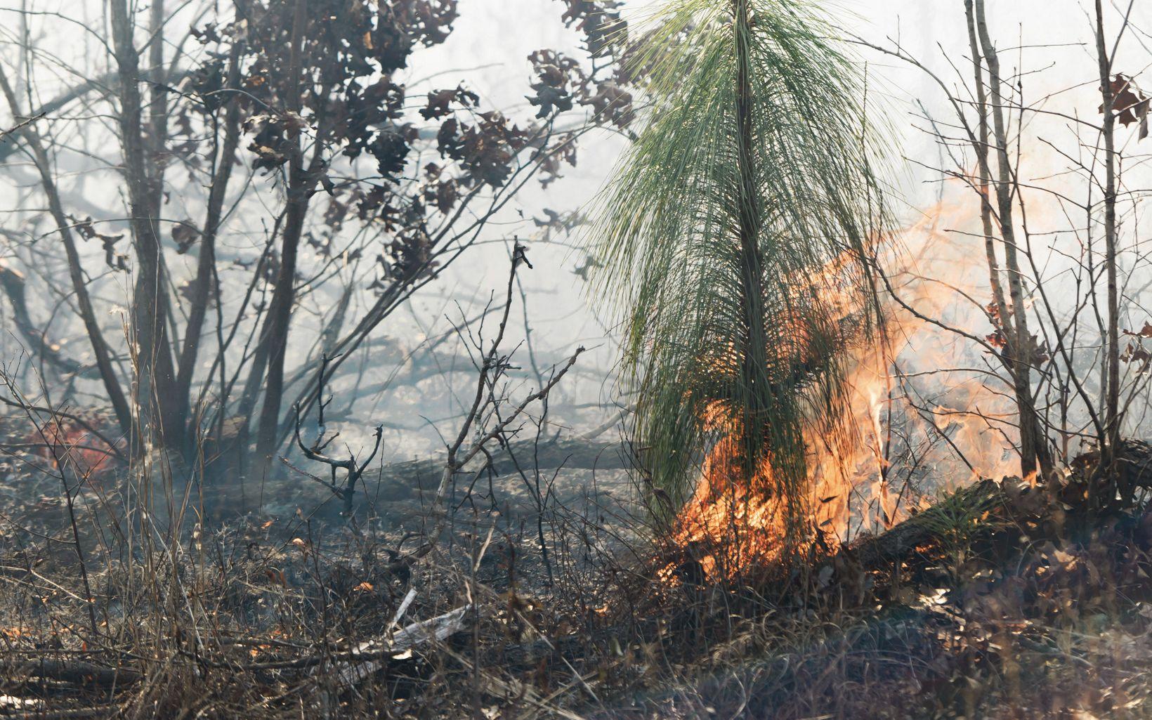 A burning pine seedling.