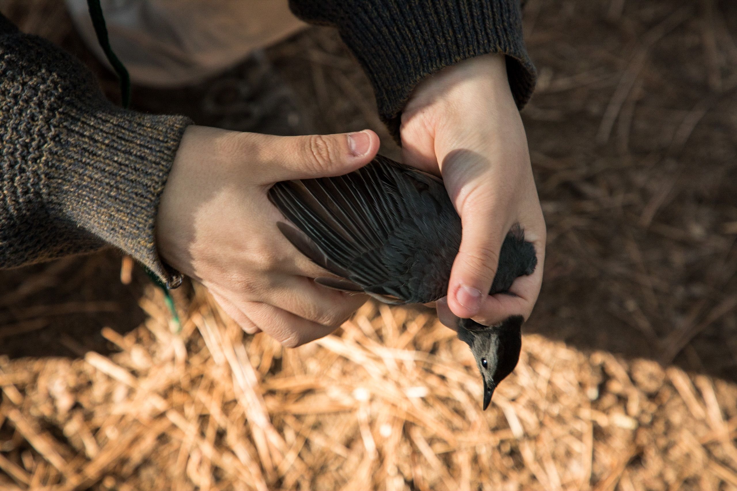 Close view of two hands holding a dark colored bird.