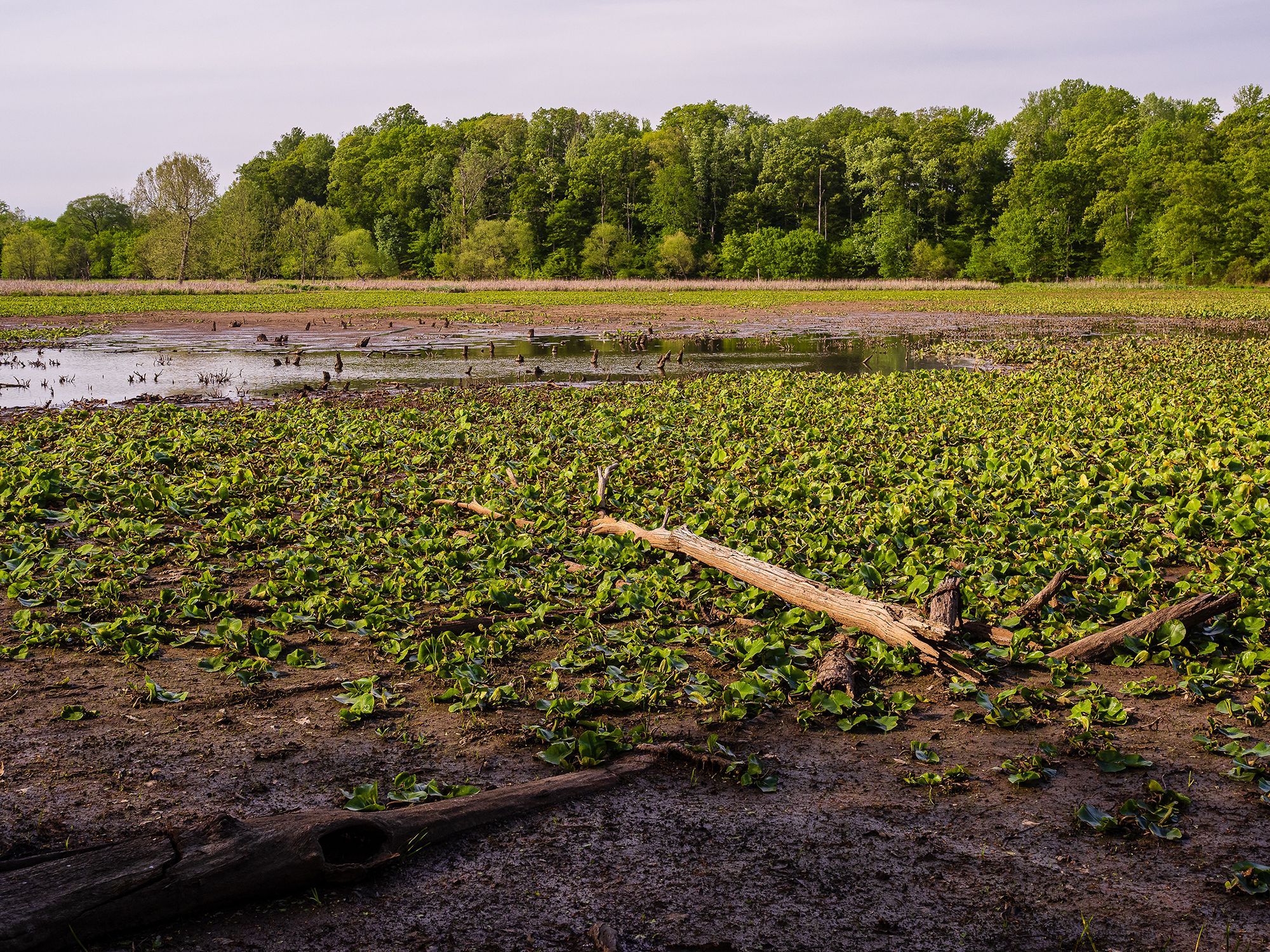 View of the receding water in what was formerly an impoundment lake created by a beaver dam. Small patches of water are visible between large swathes of aquatic vegetation left sitting in the mud.