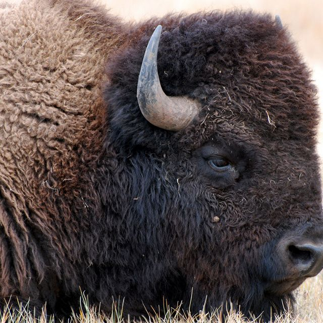 Bison from Wind Cave are genetically diverse and show no trace of cattle genes.