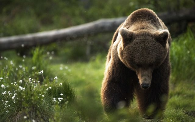 a photo of a large brown bear walking through a green clearing