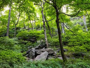 A forested landscape with green shrubs and boulders lining roughly 20 trees in view.