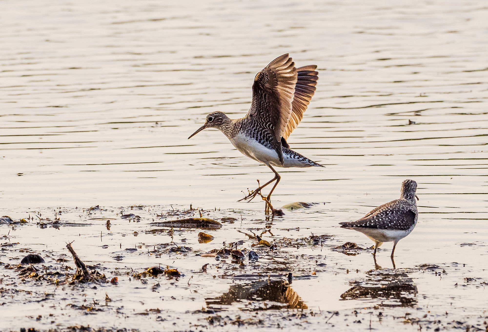 Two small brown and white shorebirds forage at the edge of a lake. The bird in the background is just taking off from the ground with its wings fully open and extended.