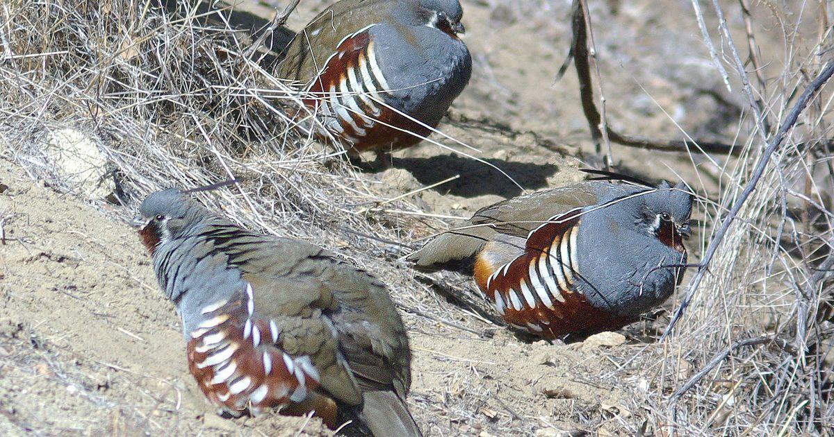 Mountain quail in Carrizo Plain National Monument
