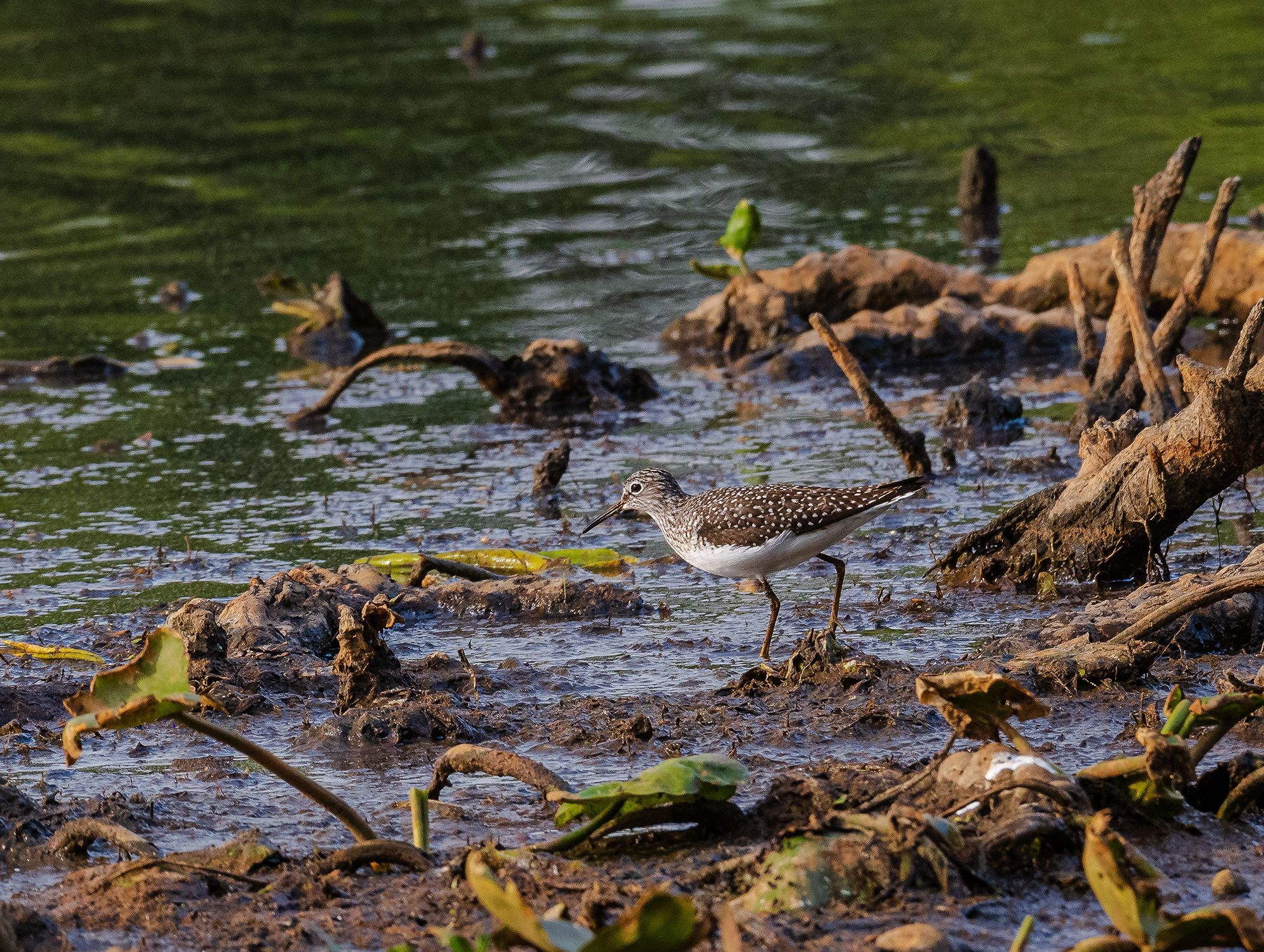 A small brown and white shorebird forages at the edge of a lake. The bird has brown wings dotted with white feathers. The water laps against the muddy shore.