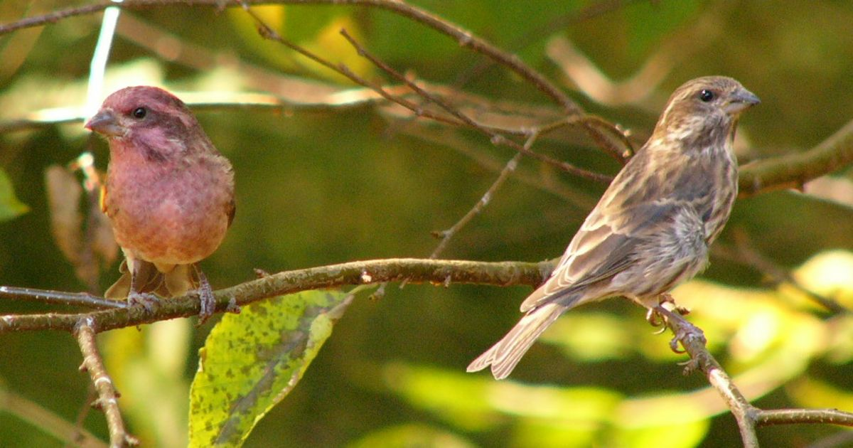 A pair of purple finches