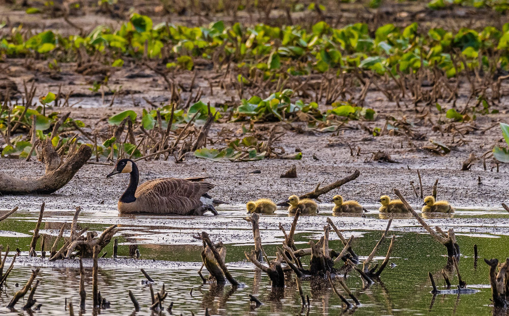 Five small yellow goslings float in a line behind an adult Canada goose. The adult bird has a thin curving black neck and white throat. Green vegetation grows in the mud flats in the background.