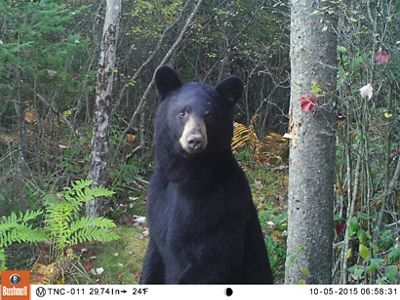 A black bear on its hind legs in the woods.