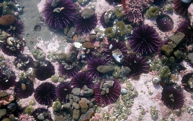Sea urchins in California tide pools