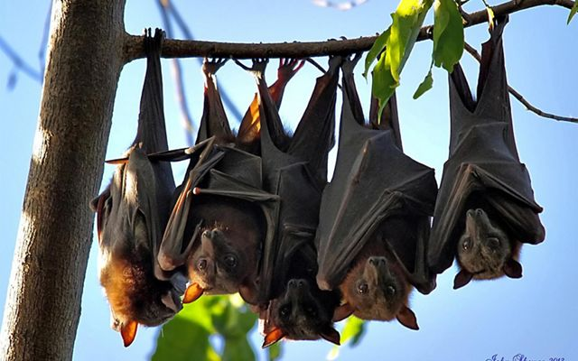 Flying Foxes