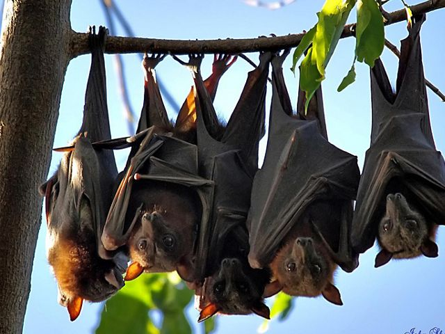 "The world's largest bat is the ""flying fox"" that lives on islands in the South Pacific."