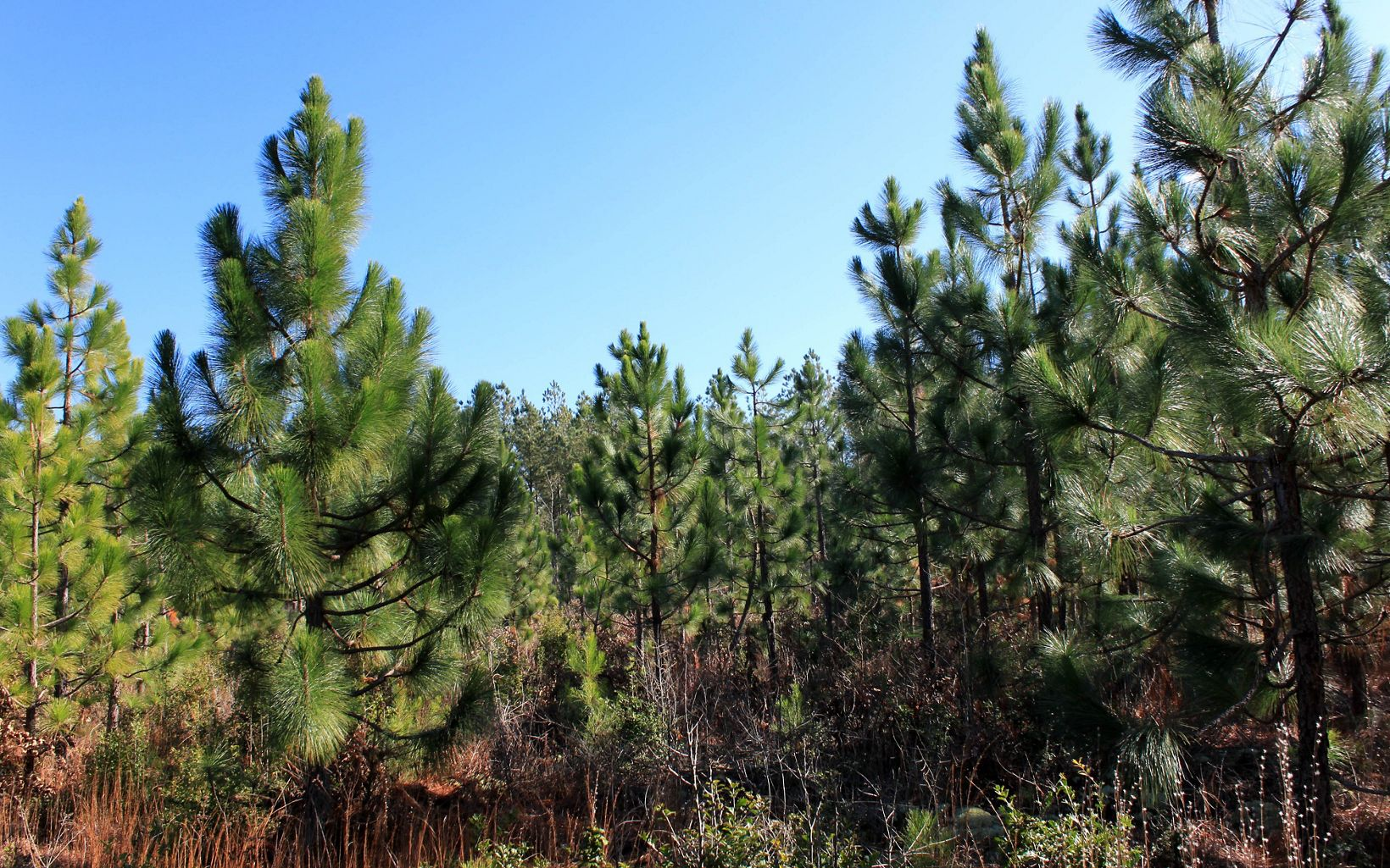 A stand of 6 to 10 foot longleaf saplings closely spaced together.