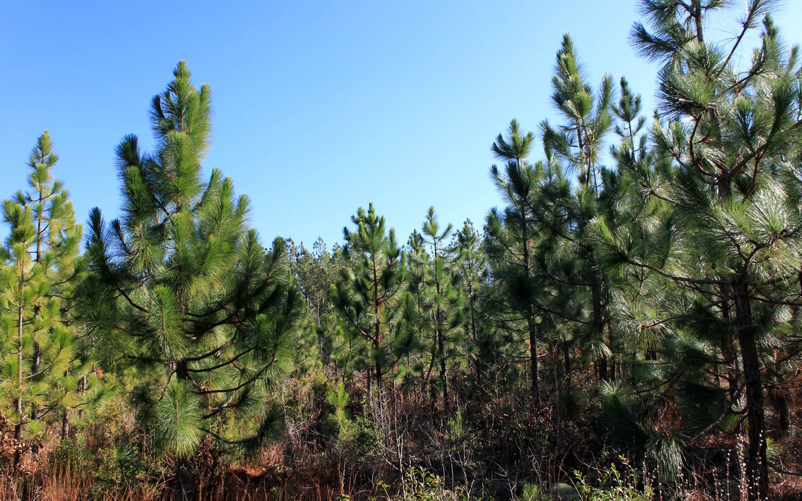 A stand of longleaf saplings at Raccoon Creek Pinelands, Virginia.