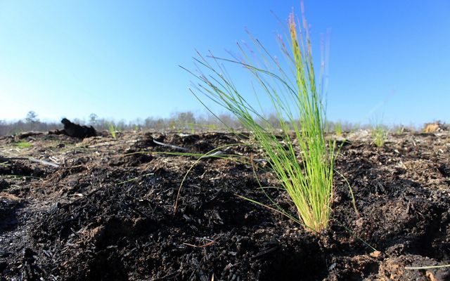 Ground eye view of a freshly planted longleaf pine seedling. It resembles a small tuft of long grass.