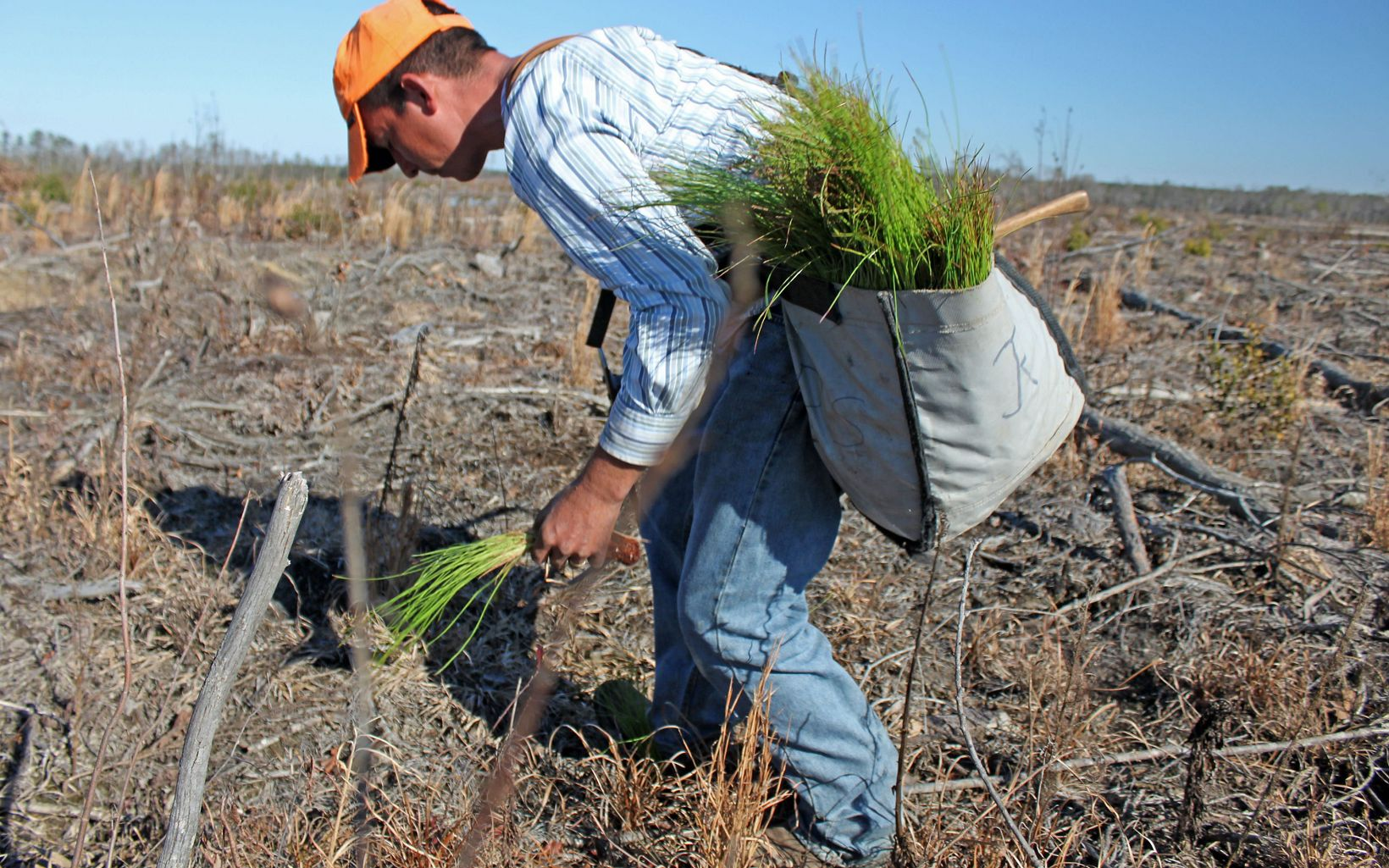 A worker carries a white tote full of longleaf pine seedlings. He is stooping over to plant a seedling in a prepared hole.