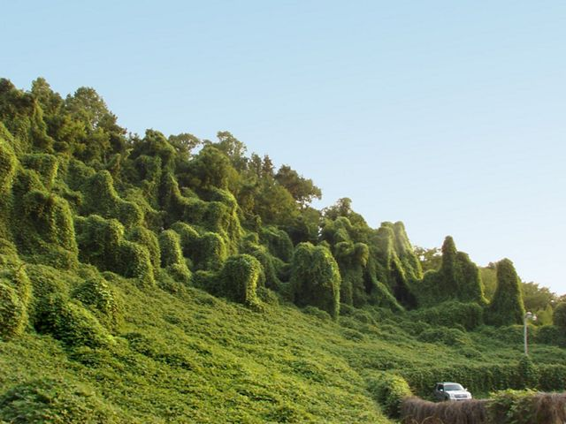 massive bunch of invasive kudzu takes over whole trees and shrubs on hill while a car drives by