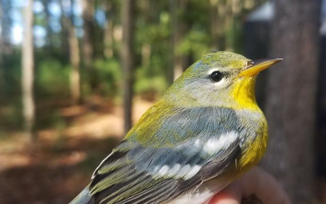 A small bird with white streaked gray wings, yellow throat and a greenish head is held by a person prior to being banded as part of a scientific study.