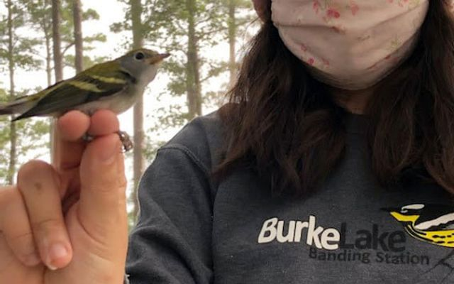 A woman wearing a mask and pink beanie holds a small brown and white songbird.