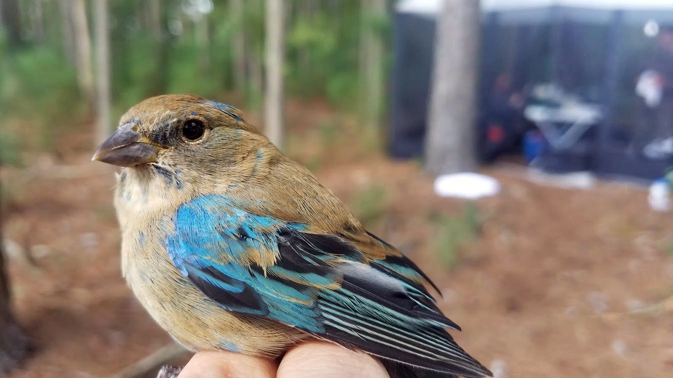 A small brown bird with a dun colored breast and blue wings is held by a person prior to being banded as part of a scientific study.