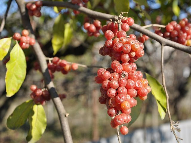 red fruit with silver speckles from autumn olive tree