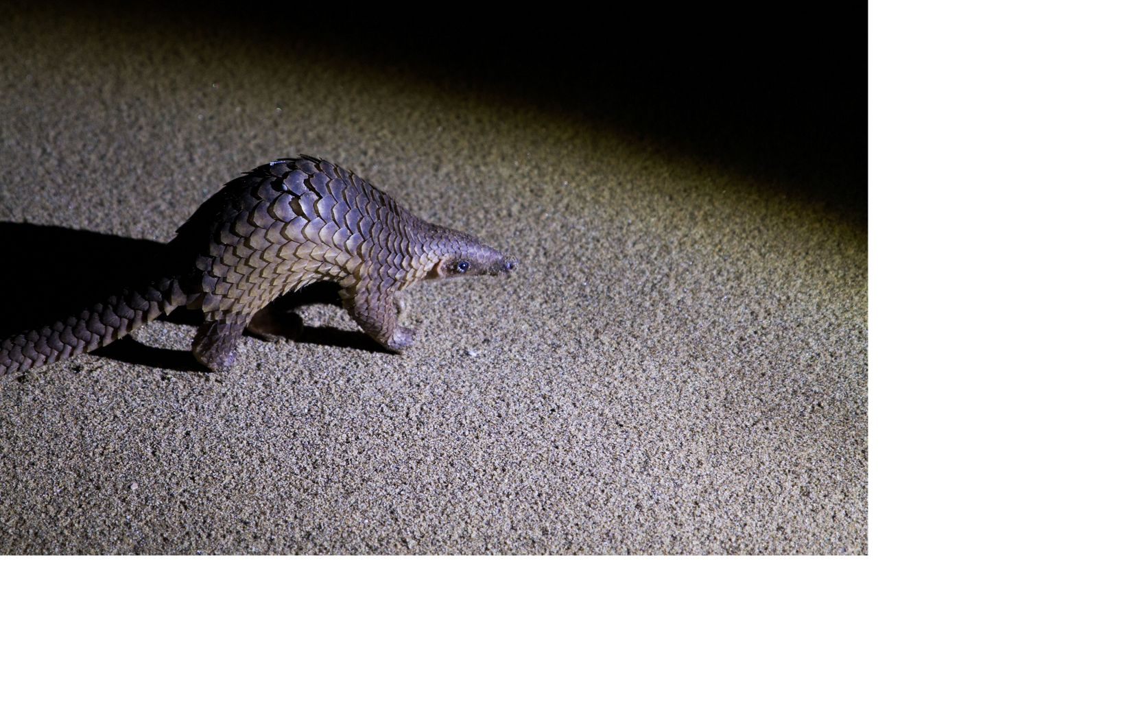 a scaly animal on dark ground at night