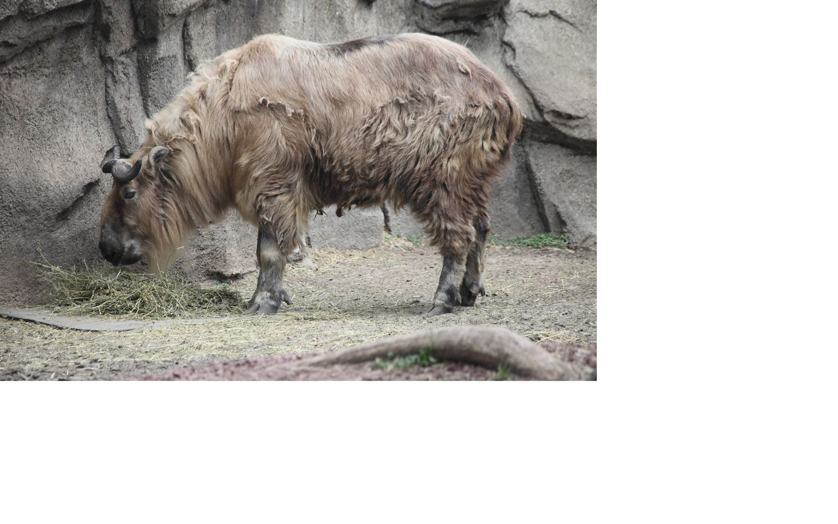side view of a takin with messy beige fur